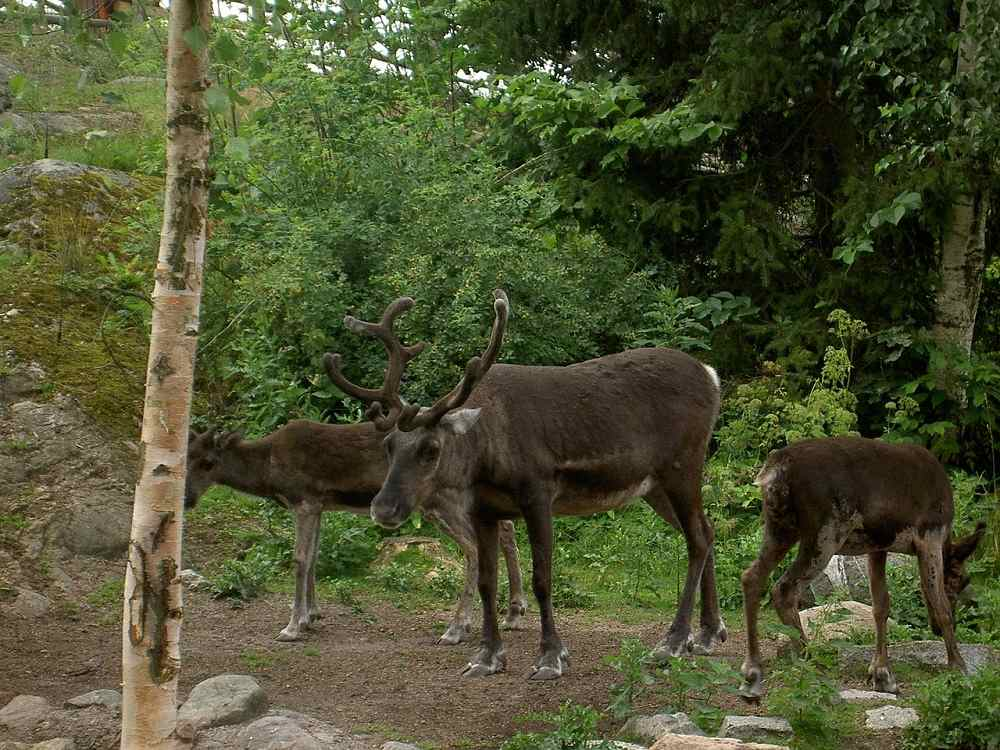 Stockholm in Three Days: Reindeer are among the Nordic animals you can see at Skansen Open-Air Museum.