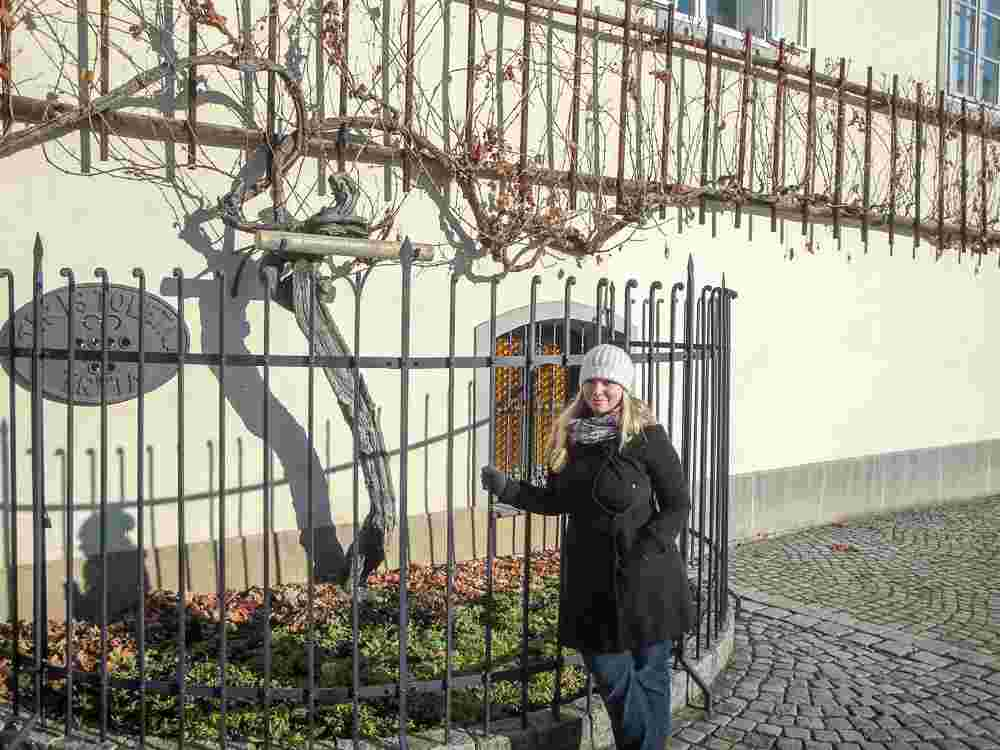 Best things to do in Maribor: The 450 year old 'Old Vine' in the Lent district is one of the best places to visit in Maribor.