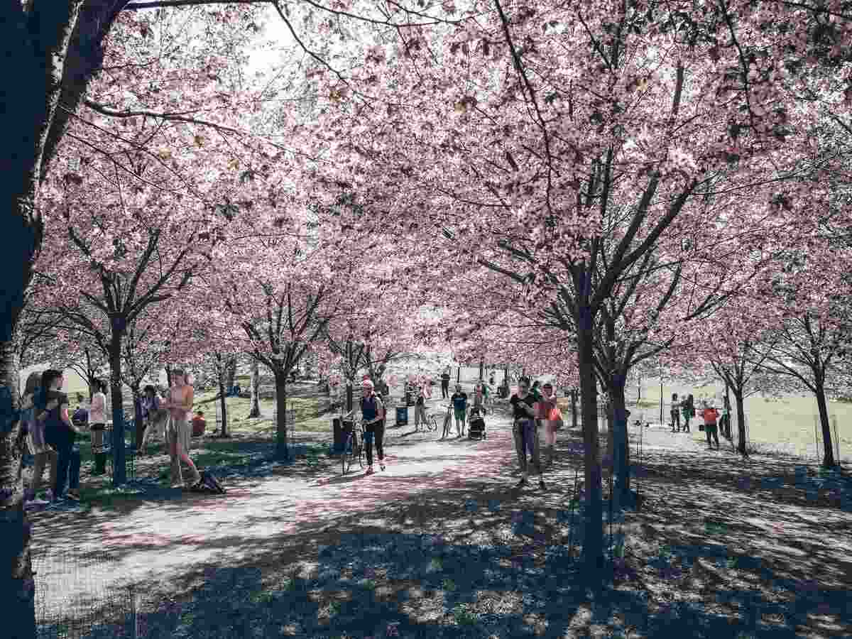 Helsinki sightseeing: People walking beneath the cherry trees of Kirsikkapuisto. PC: watermelontart/shutterstock.com
