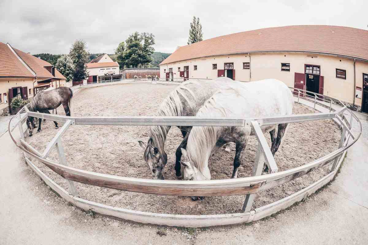 Austria attractions: The famous Lipizzaner horses at the Piber Stud Farm. PC: DeymosHR/shutterstock.com
