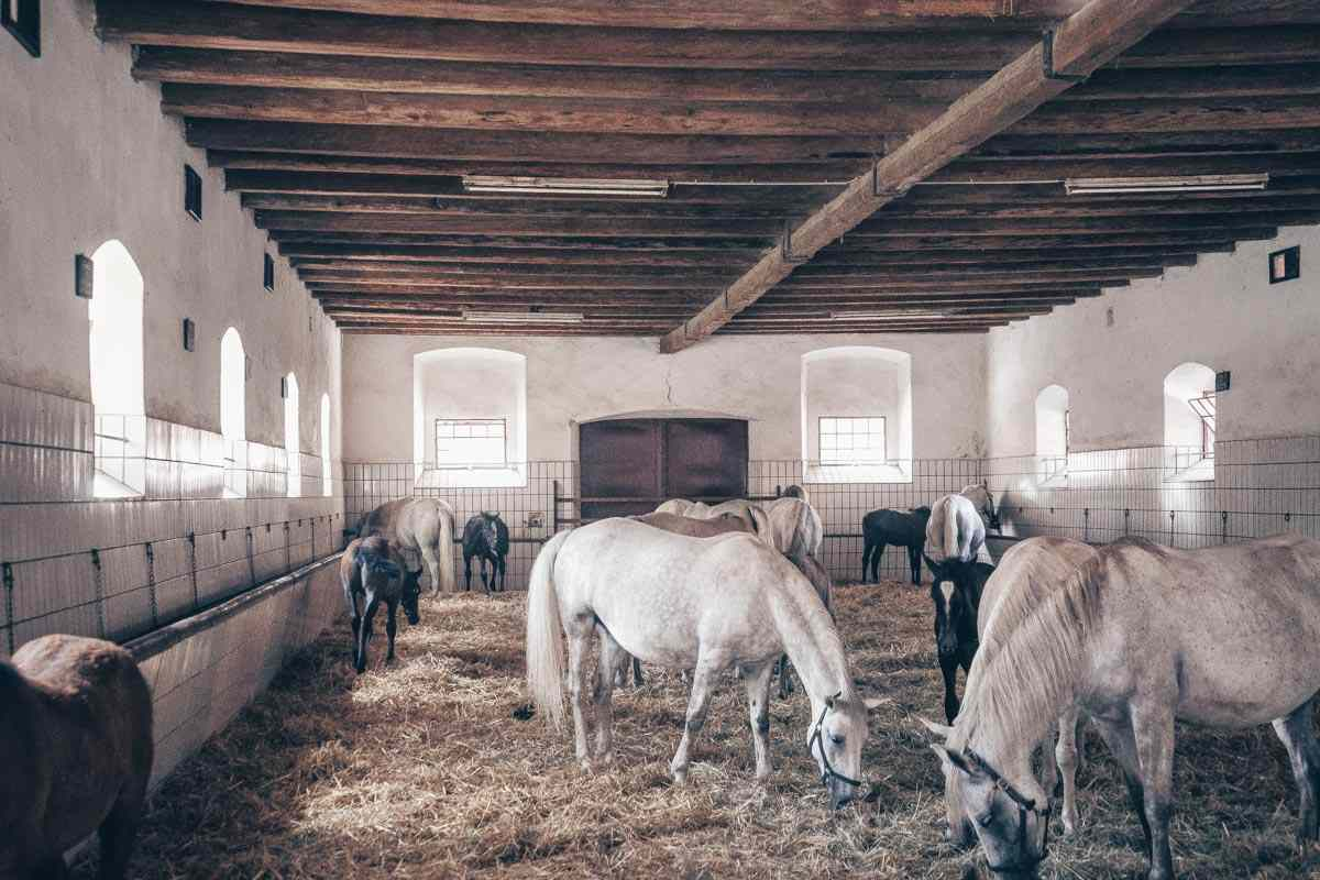 Day Trips From Graz: Lippizzaner horses at the Piber Stud Farm