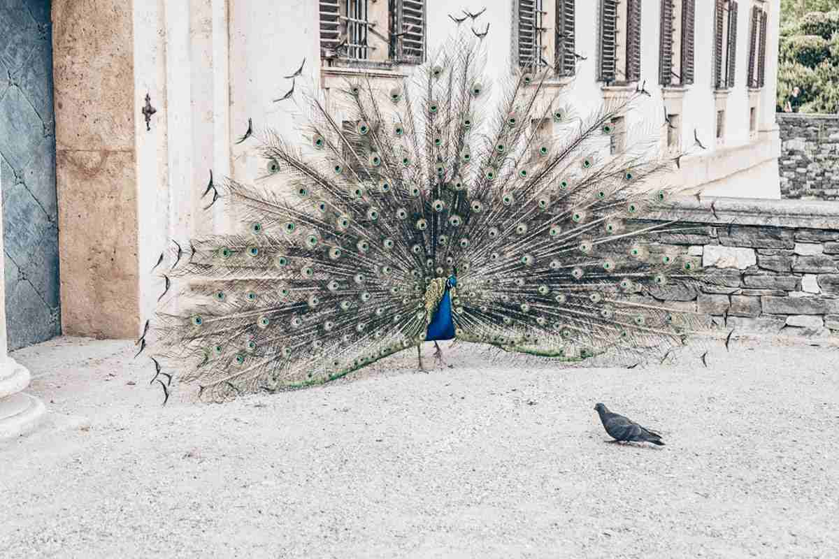Eggenberg Palace Gardens: A magnificent blue Indian peacock with its feathers spread out