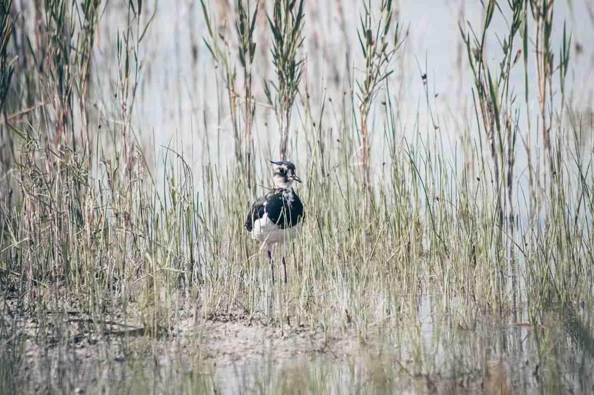 Lake Neusiedl: A close up of a bird at Seewinkel