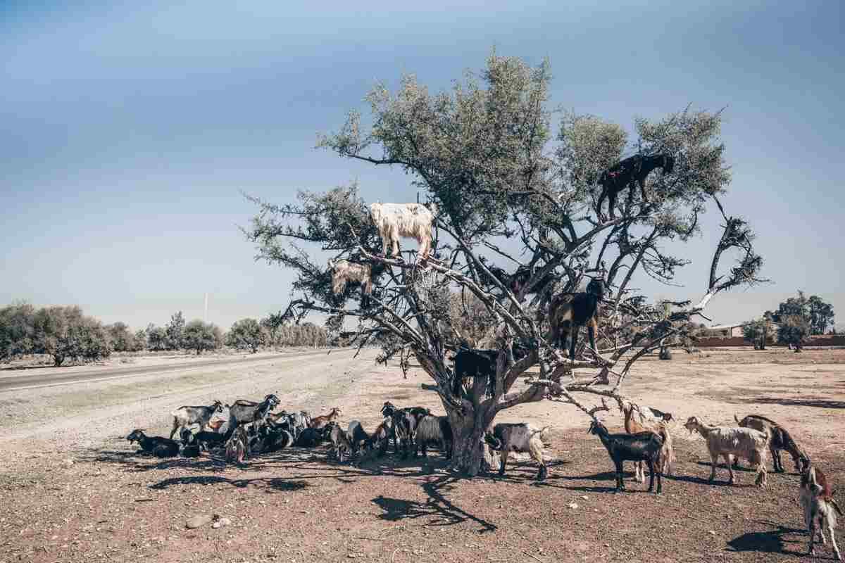 Morocco: Goats climbing an Argan tree