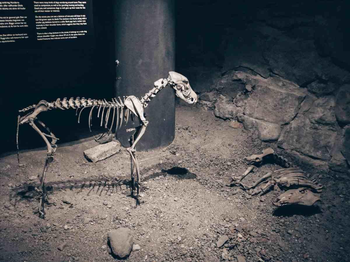Turku: Skeletons of a dog and pig at Aboa Vetus & Ars Nova. PC: Ilarius, CC BY-SA 3.0 <https://creativecommons.org/licenses/by-sa/3.0>, via Wikimedia Commons